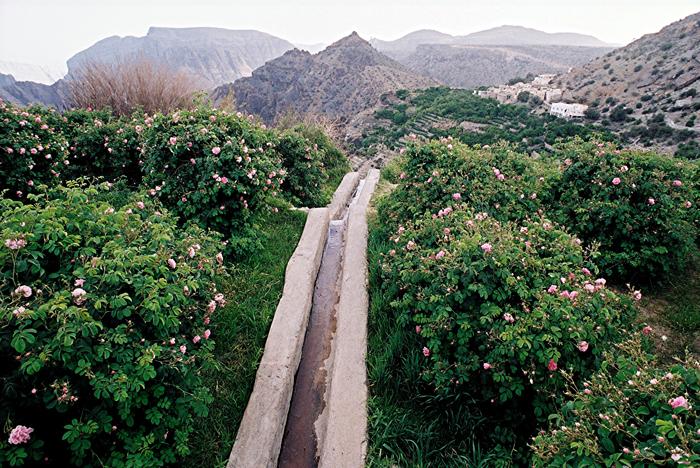 Roser i Dhofar regionen i